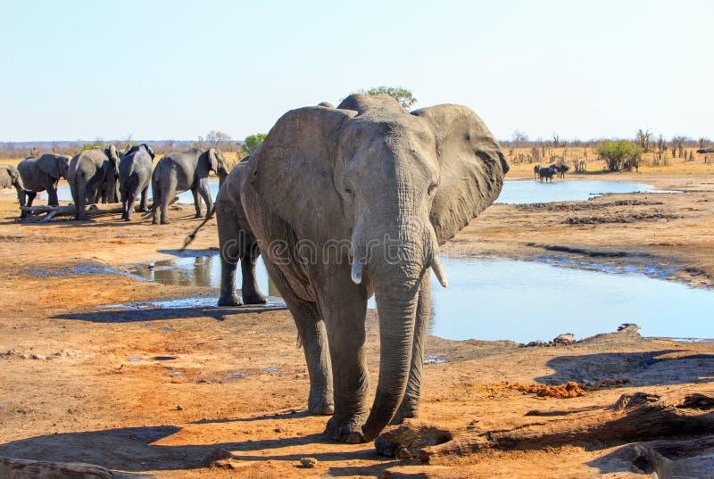 Wielki byka słoń stoi patrzeć w kamerę, z małym stadem w odległości obraz stock