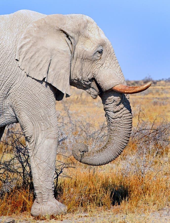 Wielki byka słonia profil z genialnym niebieskiego nieba tłem obrazy stock