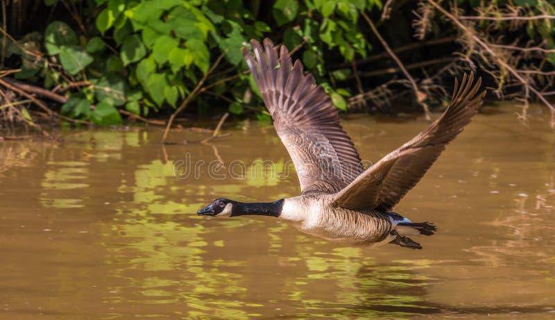 Wielki Canada gęsi latanie nad wodą zdjęcia stock
