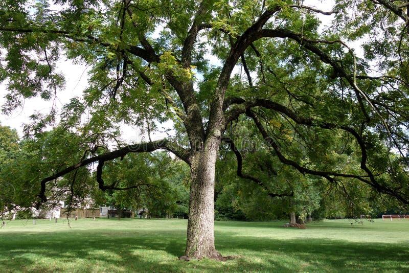 Wielki Czarnego orzecha włoskiego drzewo obraz stock