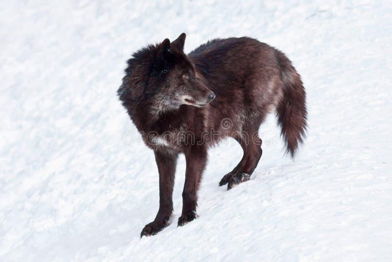Wielki czarny kanadyjski wilk stoi na białym śniegu Canis lupus pambasileus zdjęcie stock