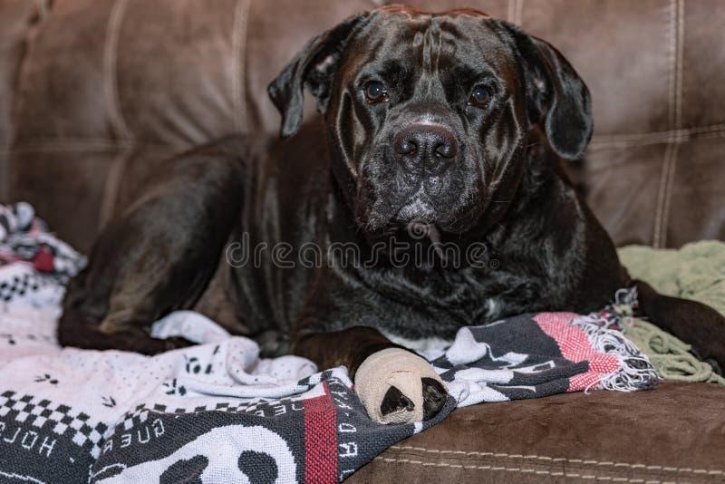 Wielki czarny pies z bandażem na leżance fotografia royalty free