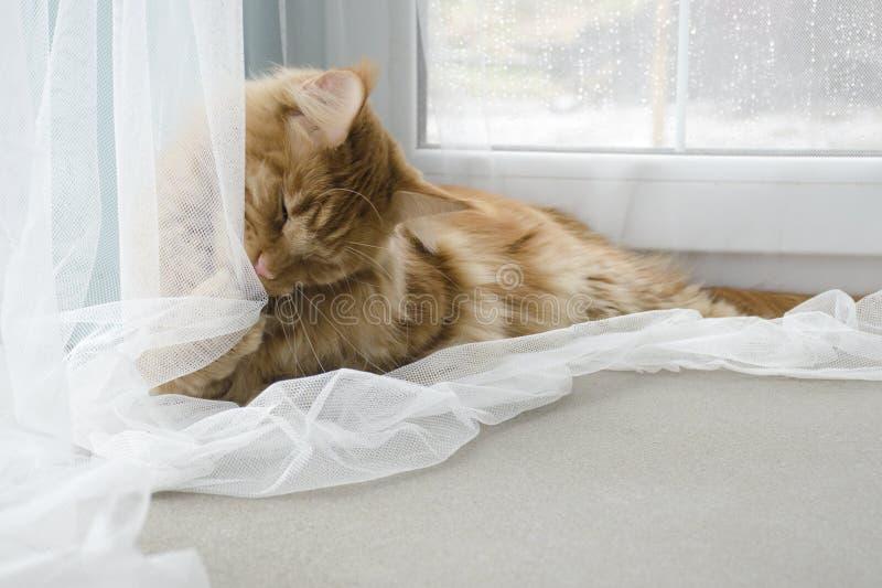 Wielki czerwień marmuru Maine coon kot kłama i bawić się z zasłoną fotografia royalty free