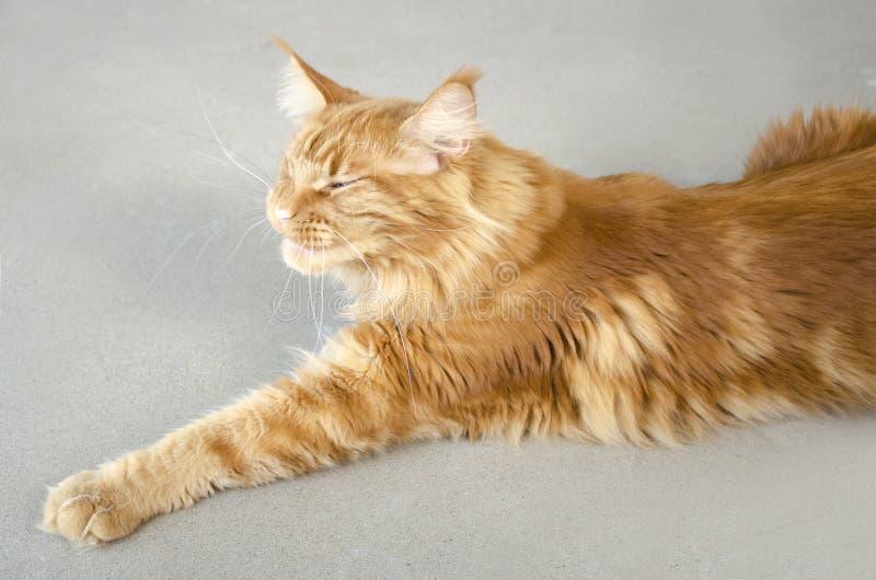 Wielki czerwień marmuru Maine coon kot kłama na szarym tle i ono uśmiecha się zdjęcia stock