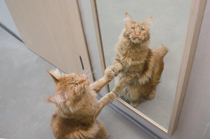 Wielki czerwień marmuru Maine coon kot siedzi obok lustra fotografia stock