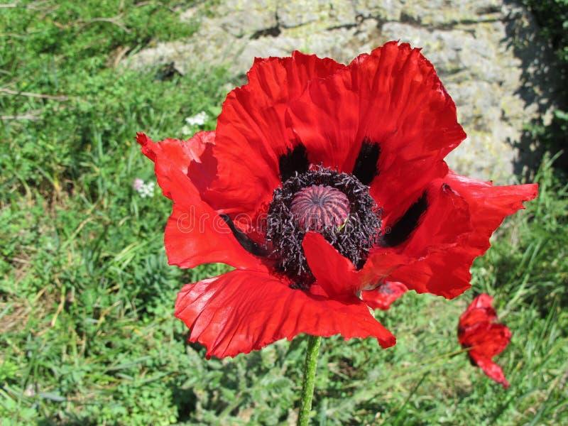 Wielki czerwieni i czerni Makowy kwiat obrazy royalty free
