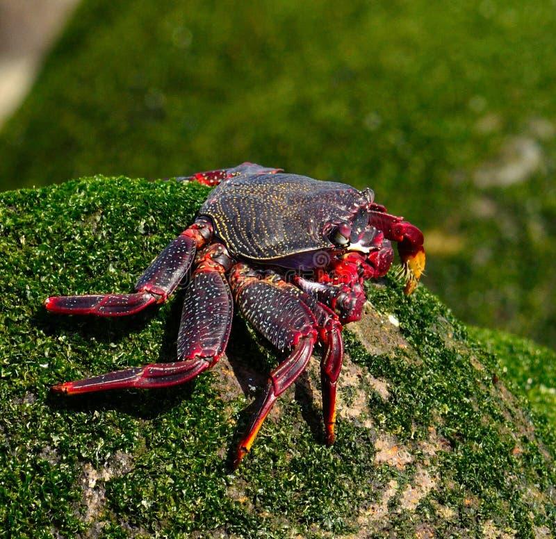 Wielki czerwony krab z długimi łapami obrazy royalty free