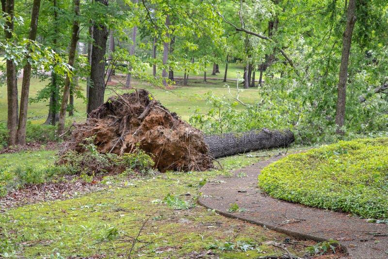 Wielki d?bowy drzewo spada? w jardzie po tornada zdjęcie royalty free