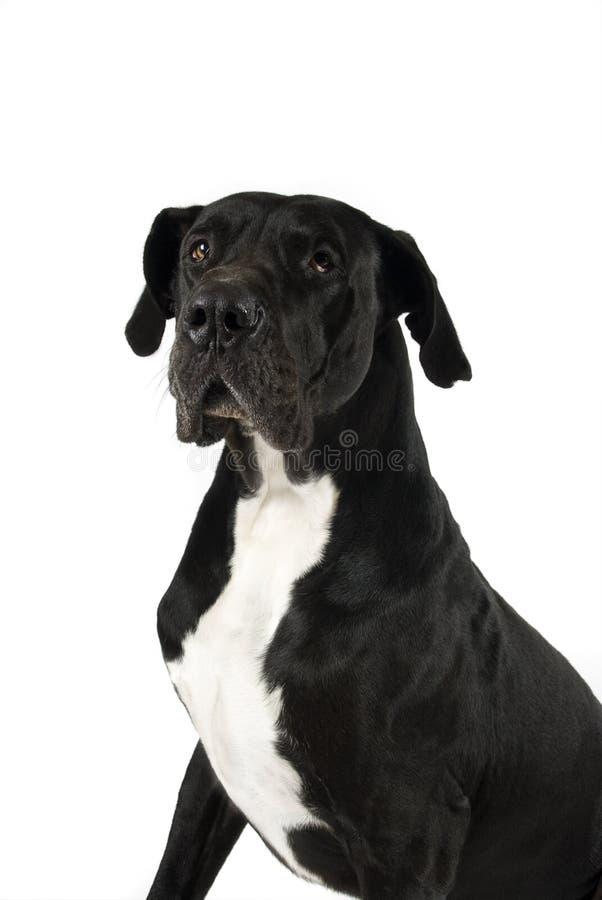 wielki dane czarny pies zdjęcie royalty free