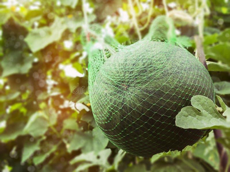 Wielki dojrzały arbuz w siatce w szklarni zdjęcia royalty free