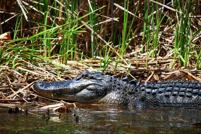 Wielki dorosły aligator fotografia stock