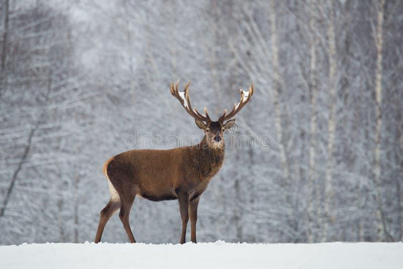 Wielki dorosły szlachetny czerwony rogacz z dużymi pięknymi rogami na śnieżnym polu na lasowym tle Cervus Elaphus Jeleni jelenia