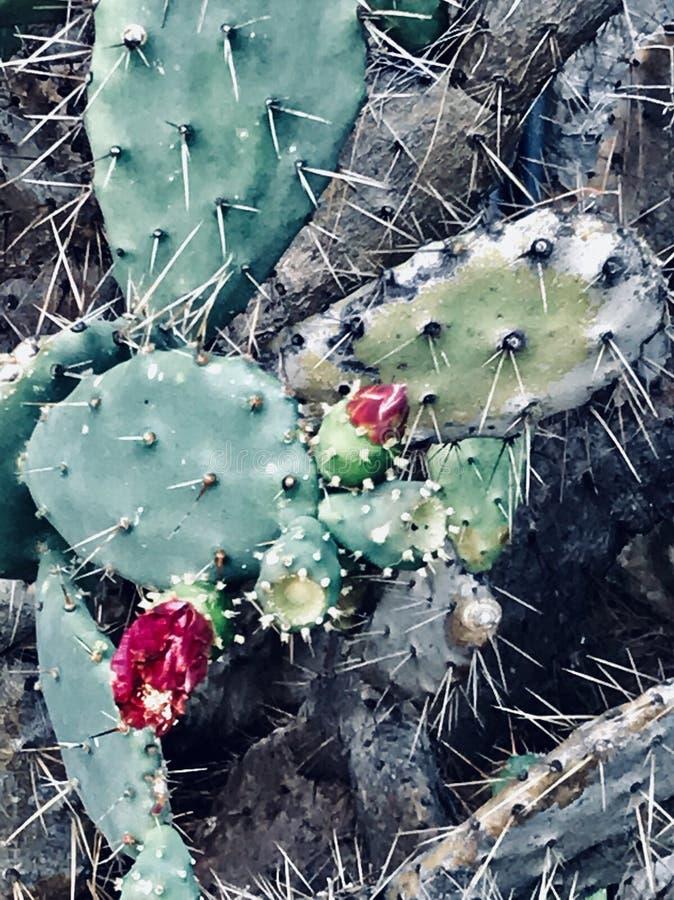 Wielki duży kaktus z menchia kwiatem zdjęcie stock