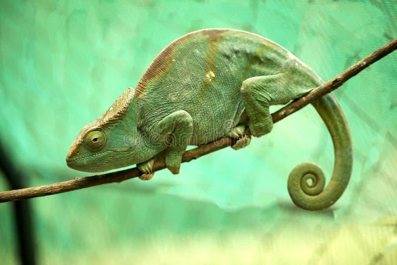 Wielki duchownego ` s kameleon, Calumma parsonii, Madagascar obrazy stock