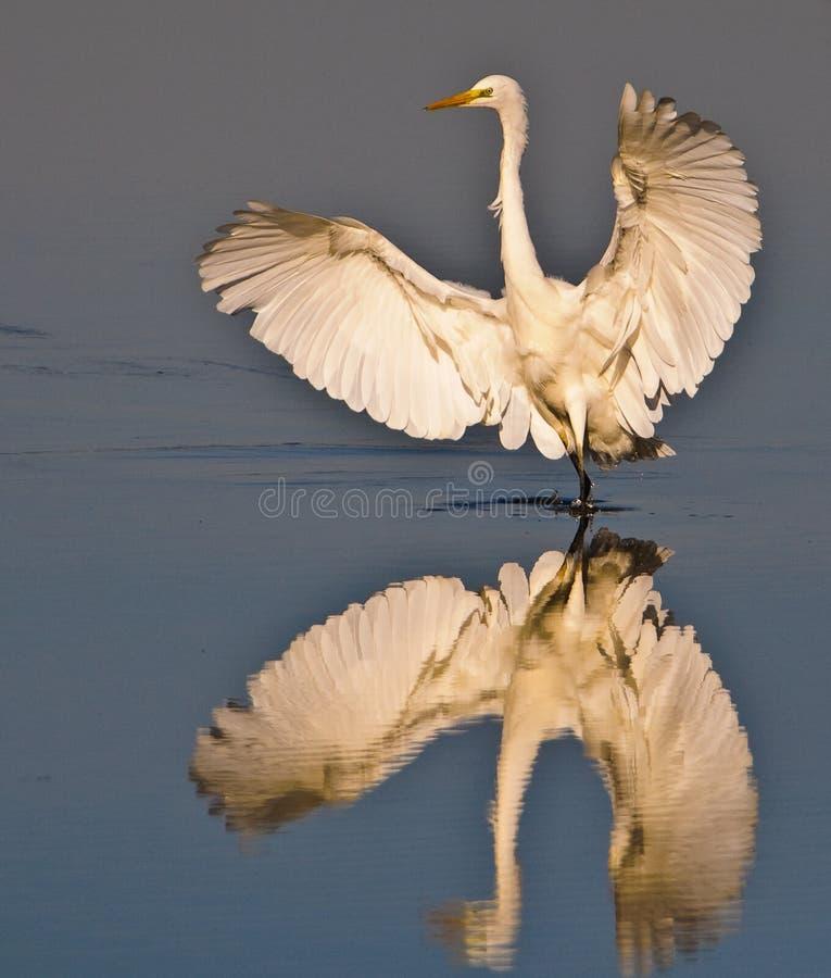 wielki egret biel zdjęcia royalty free