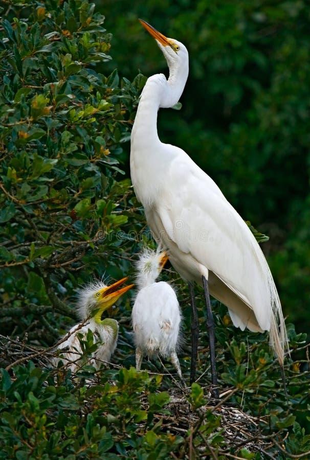 wielki egret biel obraz stock