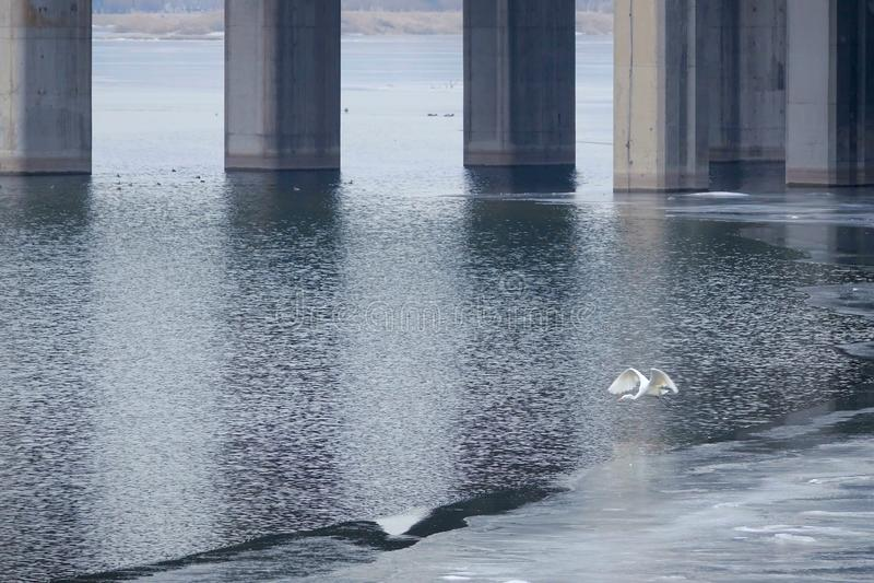 Wielki Egret i most obrazy royalty free