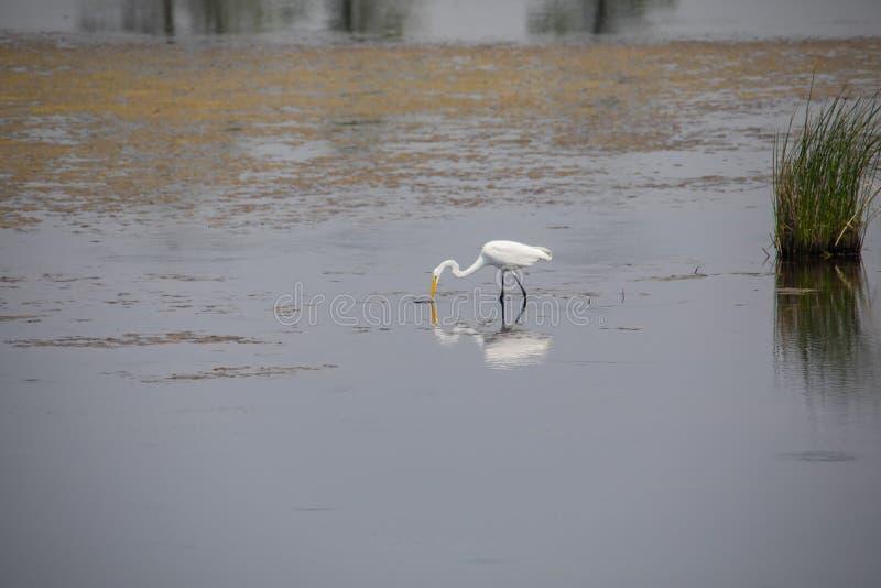 Wielki Egret karmienie w płytkiej wodzie obrazy stock