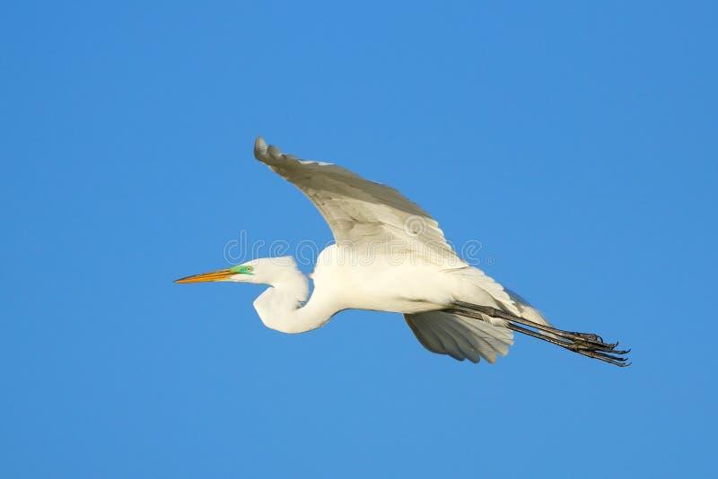 Wielki Egret latanie w niebieskim niebie zdjęcia stock