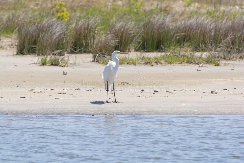 Wielki Egret na bagna plaży fotografia royalty free