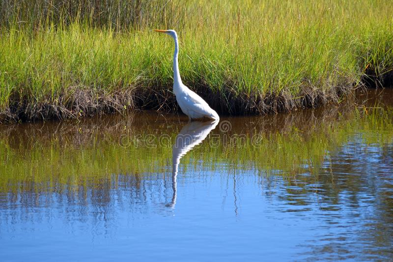 Wielki egret na bagnach w Floryda fotografia royalty free