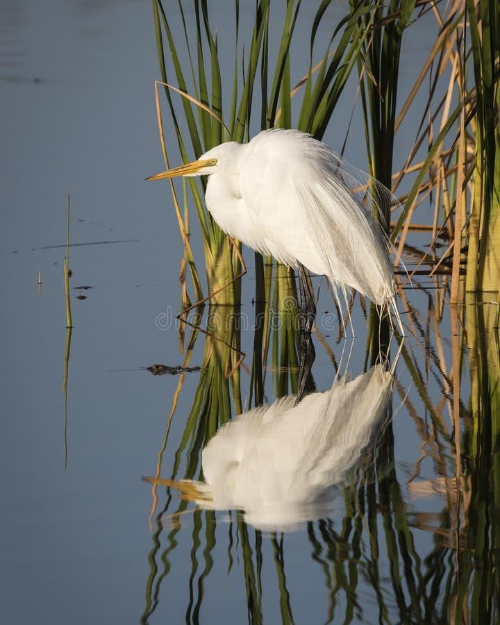 Wielki Egret Odbijający w Floryda bagna obraz royalty free