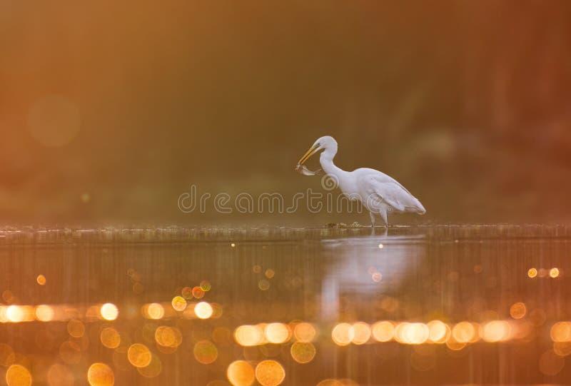 wielki egret połów obraz royalty free