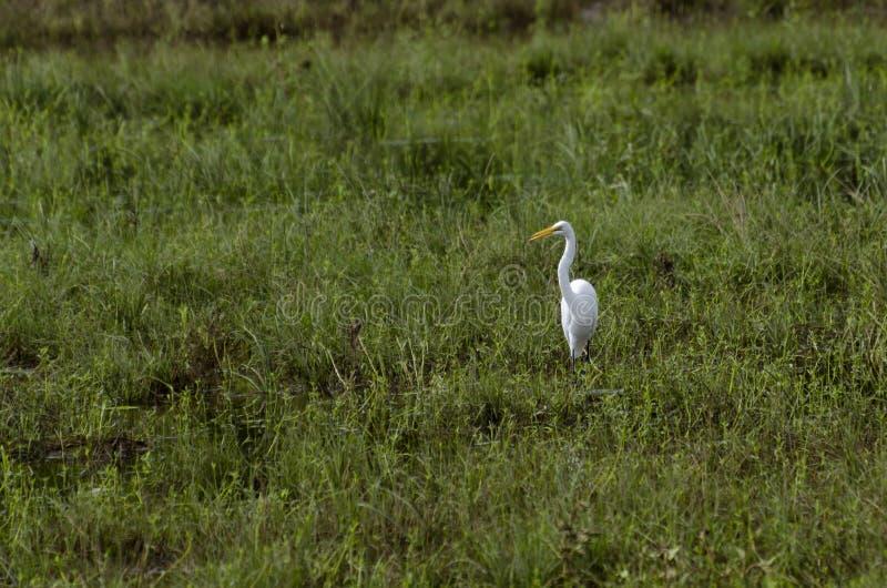 Wielki Egret połów w płyciznach zdjęcie stock