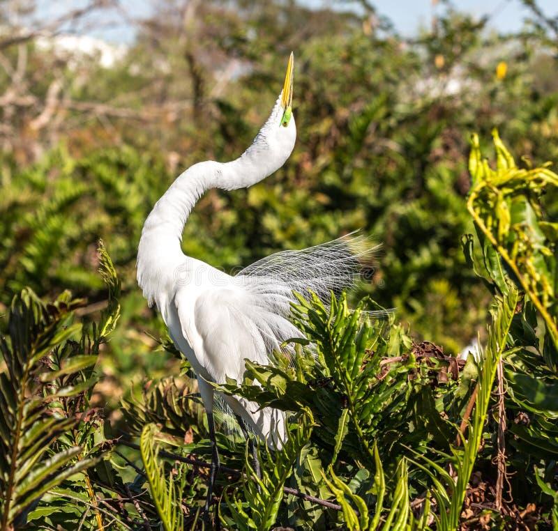 Wielki Egret Pozuje w Lęgowym upierzeniu obraz royalty free