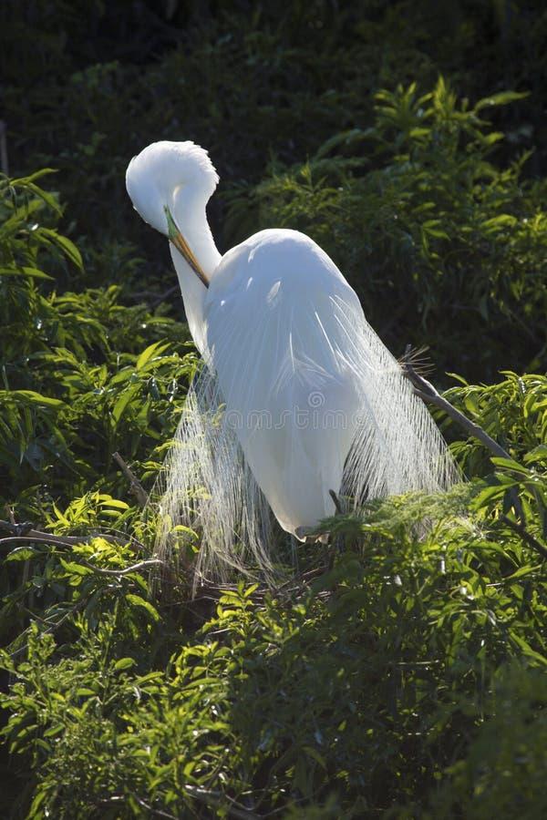 Wielki egret preening lęgowego upierzenie w Floryda rookery fotografia stock