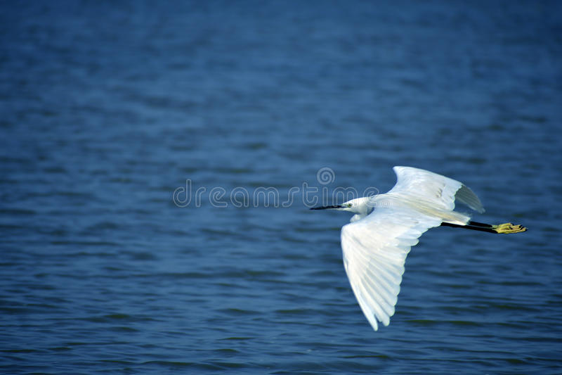 Wielki egret przy sukhna jeziorem Chandigarh zdjęcie royalty free