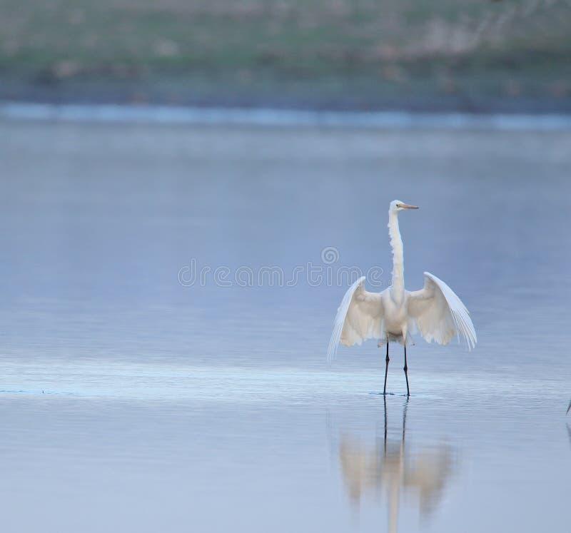 Wielki egret ptak z otwartymi skrzydłami fotografia stock
