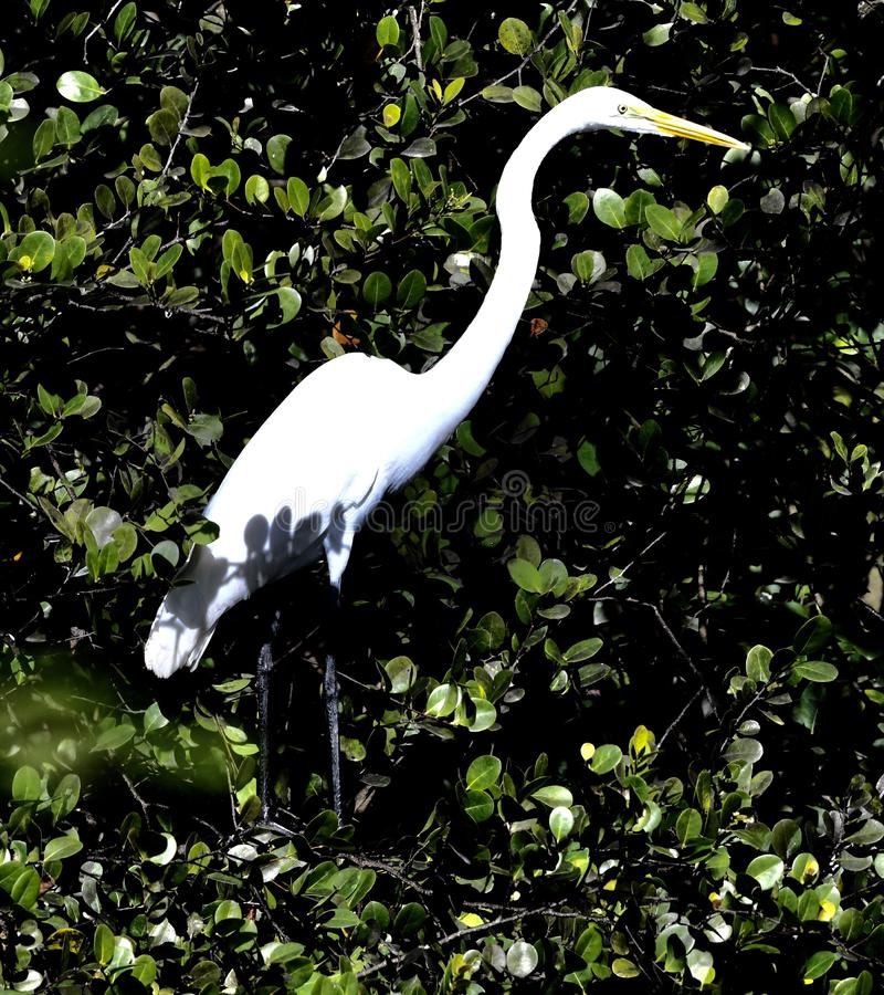 Wielki Egret -2 zdjęcia royalty free