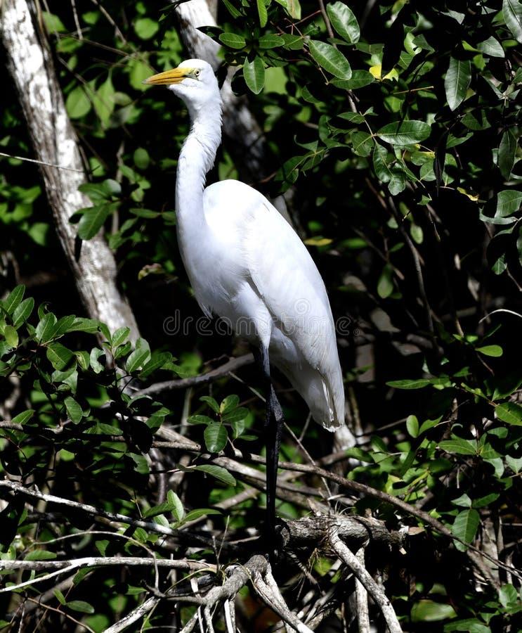 Wielki Egret -3 zdjęcia stock