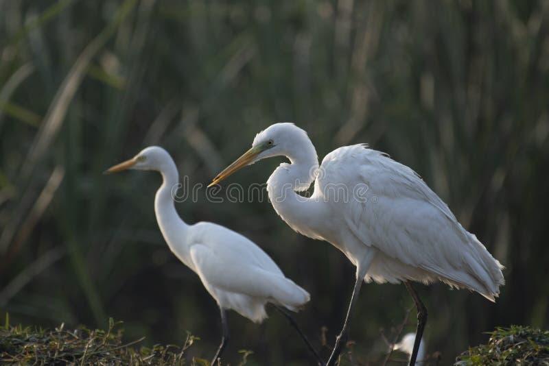 Wielki Egret w bagna zdjęcie stock
