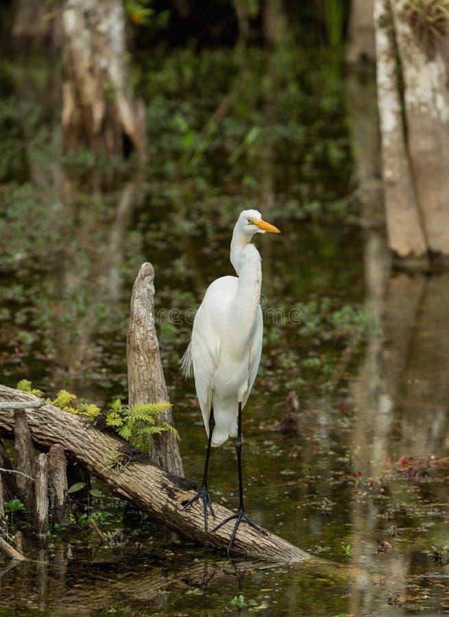 Wielki Egret w dzikim w błotach Floryda fotografia royalty free