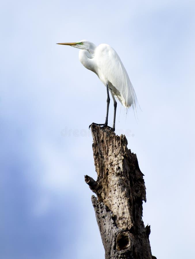 Wielki Egret w Okefenokee bagnie obrazy stock