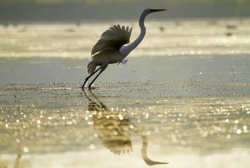 Wielki Egret w Złotym świetle zdjęcia royalty free
