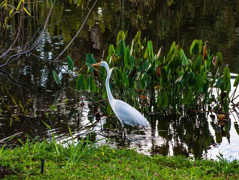 Wielki Egret Watuje w bagnie obrazy stock