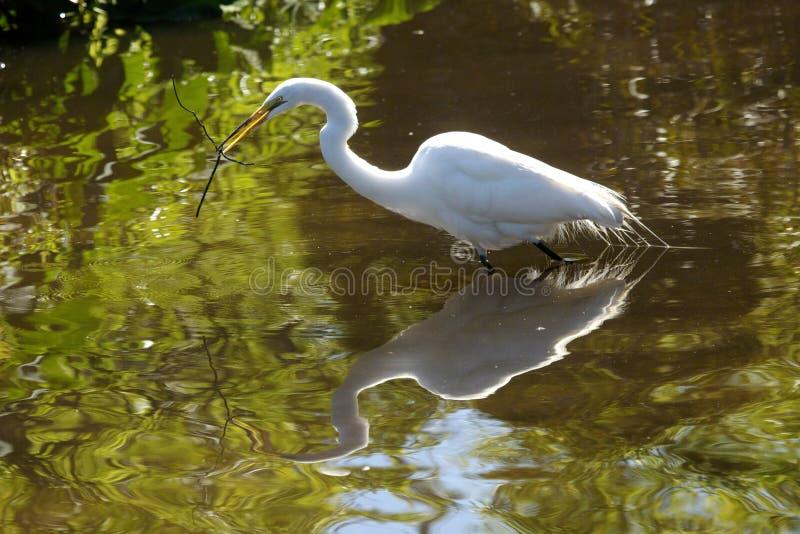 Wielki egret watuje z gałąź w swój rachunku w Floryda zdjęcie stock