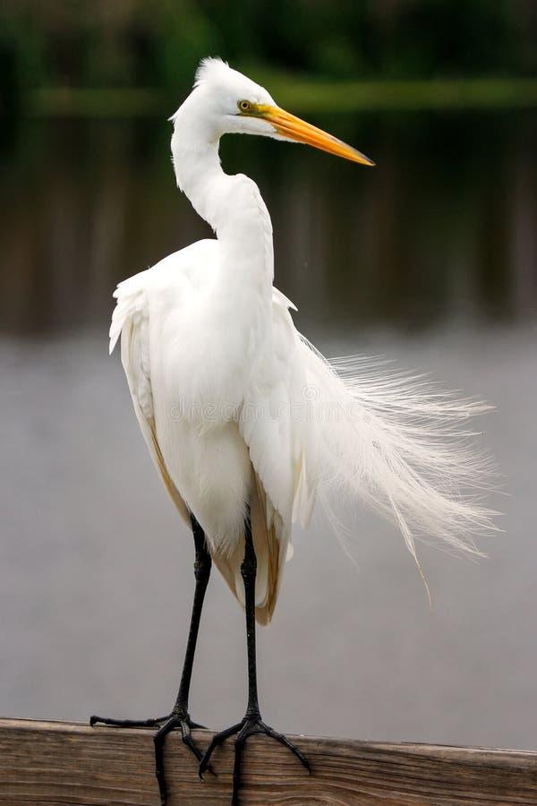 Wielki egret z lęgowym upierzeniem zdjęcia stock