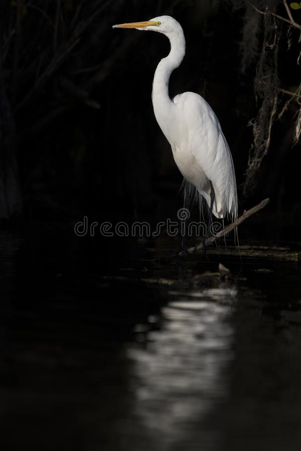 Wielki Egret z odbiciem na rzece obraz royalty free