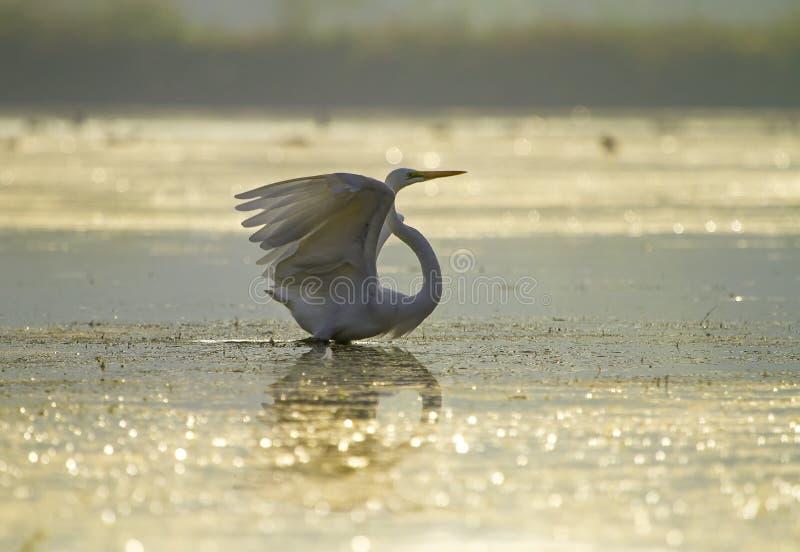 Wielki Egret z otwartymi skrzydłami obrazy royalty free