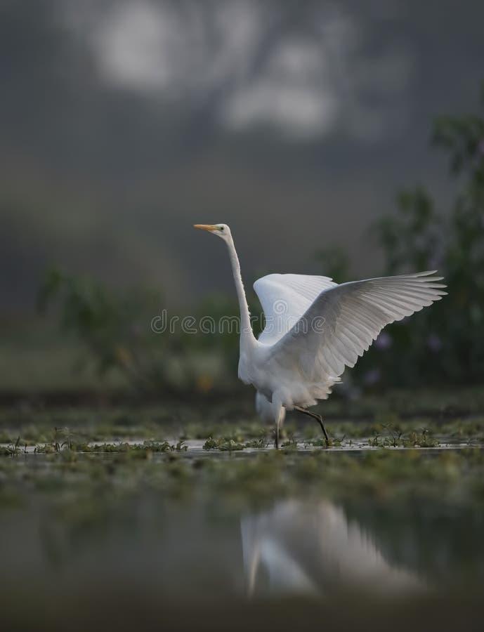 Wielki Egret z otwartymi skrzydłami z odbiciem obraz royalty free