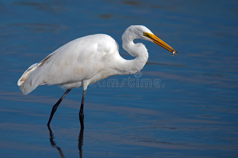 Wielki Egret Z ryba obraz stock