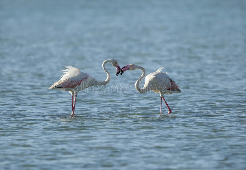 Wielki flaminga koperczaki zdjęcia royalty free