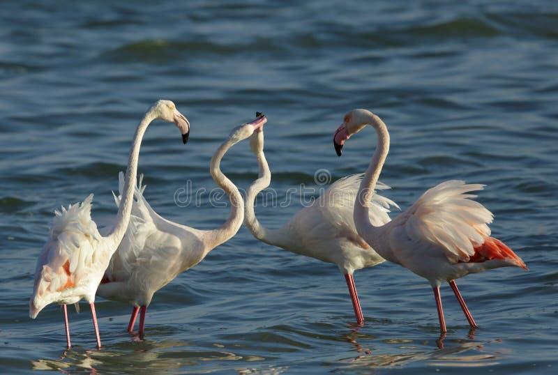 Wielki flaminga koperczaki pokaz, Bahrajn zdjęcie stock