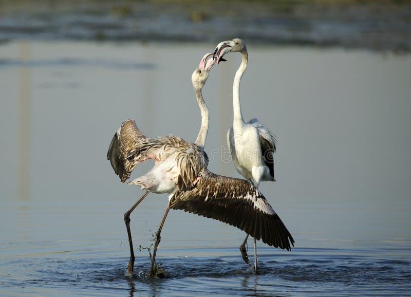 Wielki flaminga koperczaki zachowanie zdjęcie royalty free