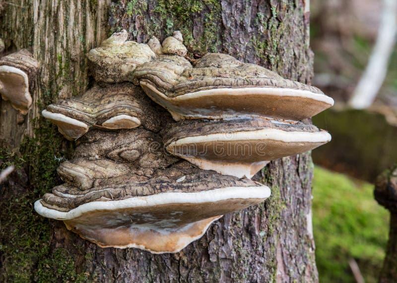 Wielki grzyb R Z strony Drzewny bagażnik zdjęcia royalty free