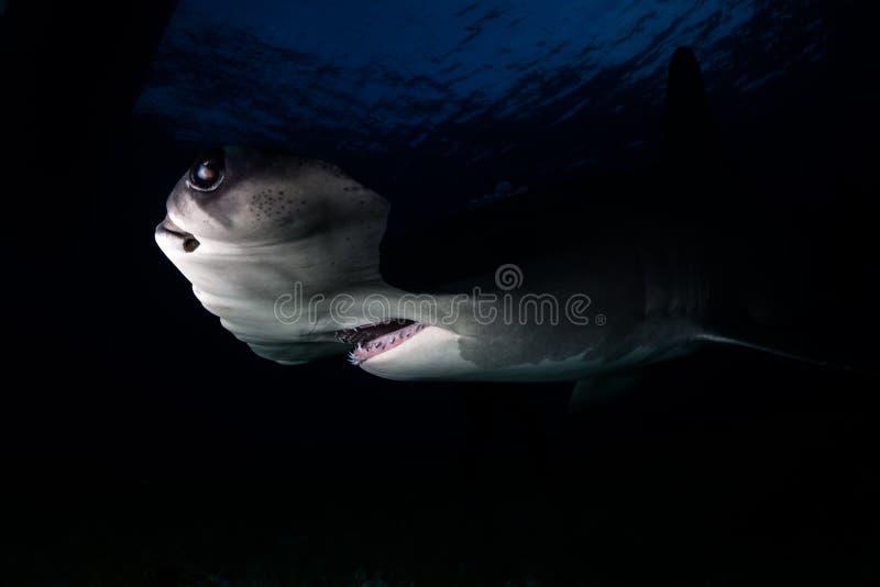 Wielki Hammerhead rekin Bahamas obraz royalty free